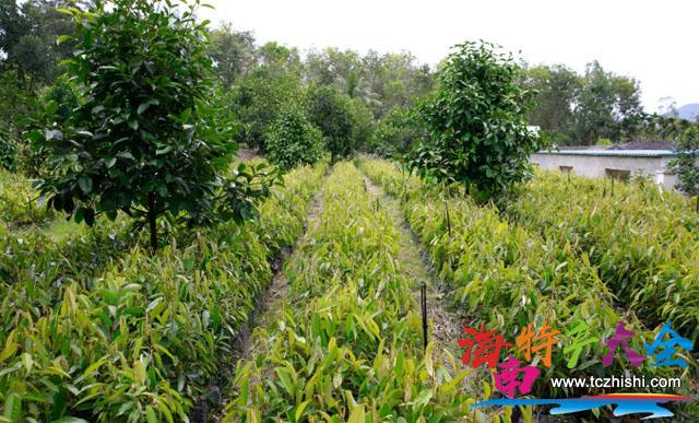 基地里培育的1万株榴莲树苗