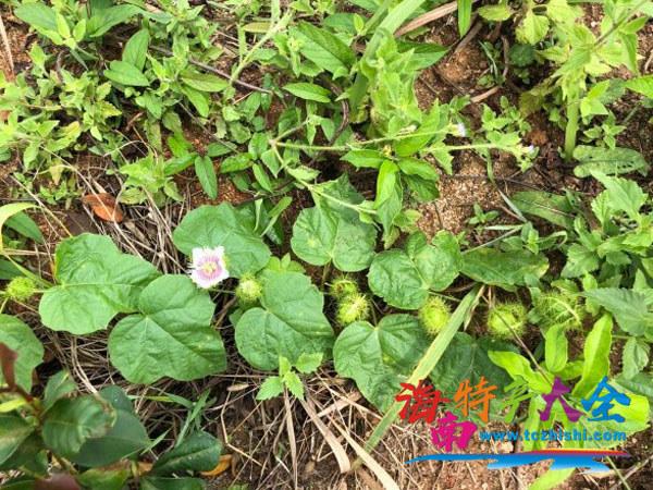 清明踏青看到的龙珠果植株