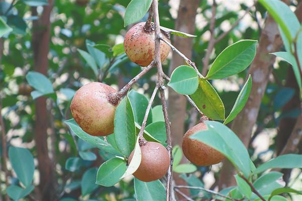 中坤农场公司油茶标准化生产示范基地种植的油茶果