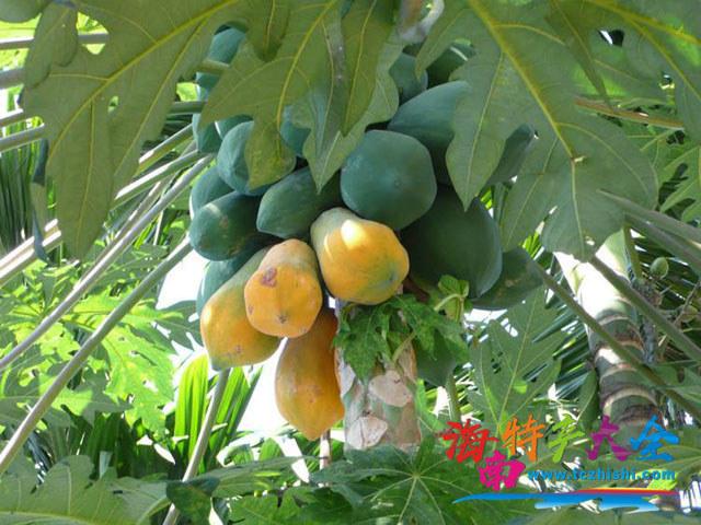 在树上成熟的木瓜