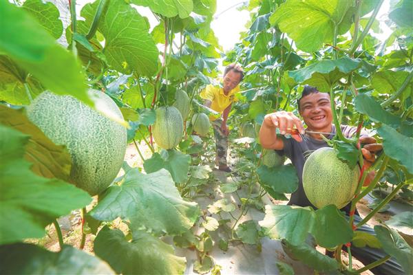 工人正在采摘哈密瓜