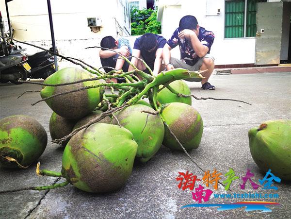琼海三男子偷椰子被抓