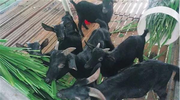 绿色养殖的黑山羊